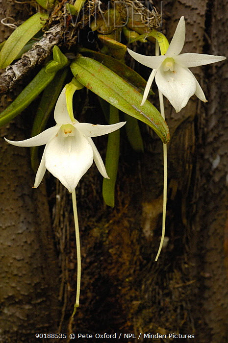Comet orchid (Angraecum sesquipedale) Analamazoatra Special Reserve or Perinet MADAGASCAR, pollinated by a moth with a proboscis of 12 inches (Xanthopan morgani praedicta) endemic  -  Pete Oxford/ npl