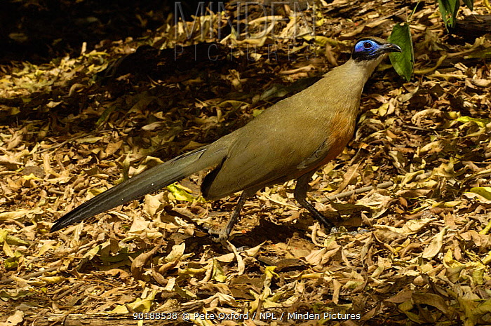 Giant coua (Coua gigas) deciduous forest, Berenty Reserve Southern MADAGASCAR, endemic  -  Pete Oxford/ npl