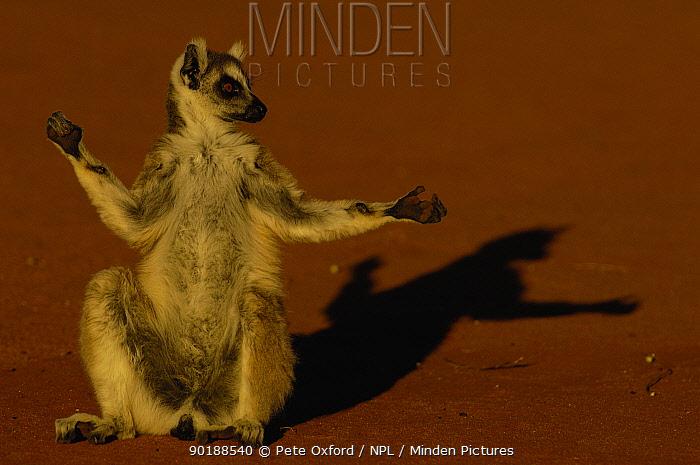 Ring-tailed lemur (Lemur catta) 'sunbathing', dry forest, Berenty Reserve MADAGASCAR  -  Pete Oxford/ npl