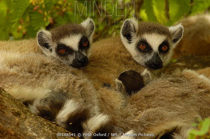 Ring-tailed lemurs (Lemur catta) resting, Spiny forest, Berenty Reserve Southern MADAGASCAR, endemic  -  Pete Oxford/ npl