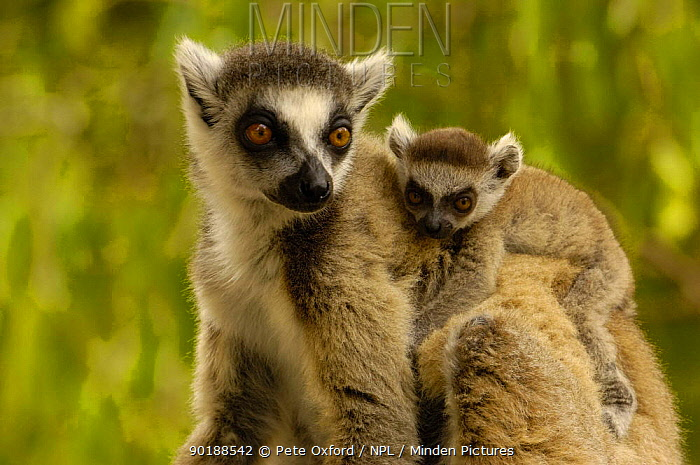 Ring-tailed lemur (Lemur catta) female carrying young, Spiny forest, Berenty Reserve Southern MADAGASCAR, endemic  -  Pete Oxford/ npl