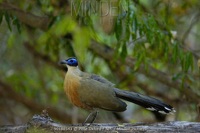 Giant madagascar coucal (Coua gigas) Berenty Reserve Southern MADAGASCAR, endemic  -  Pete Oxford/ npl