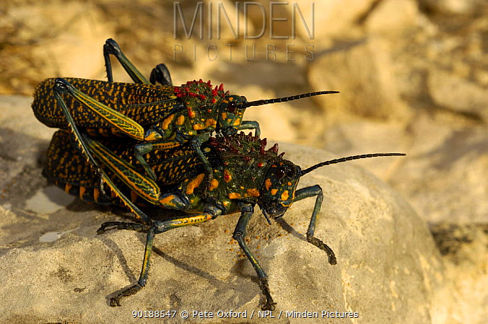 Giant painted locusts mating (Phymateus saxosus) Cap Sainte Marie Special Reserve on the southern most tip of MADAGASCAR  -  Pete Oxford/ npl