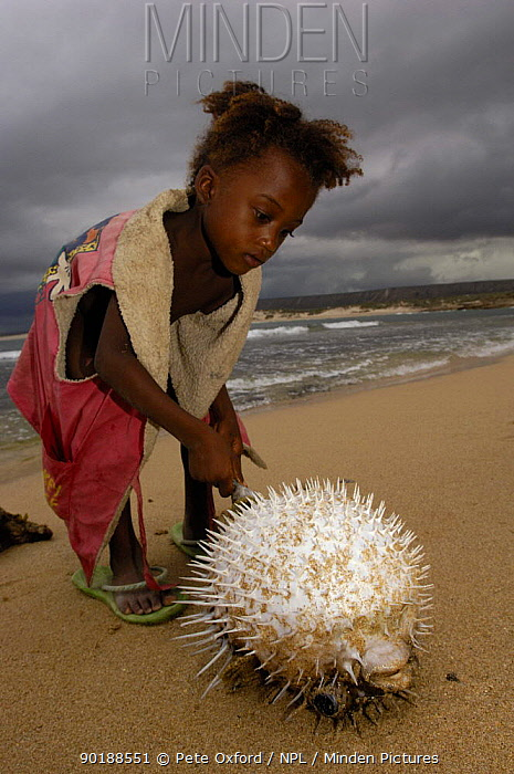 Antandroy child inspecting pufferfish that was brought in by fishermen Lavanono fishing village, south coast of MADAGASCAR  -  Pete Oxford/ npl