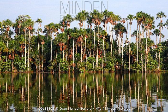 Aguaje palms (Mauritia flexuosa)on the banks of Lake Sandoval, Tambopata NP, Peru  -  Juan Manuel Borrero/ npl