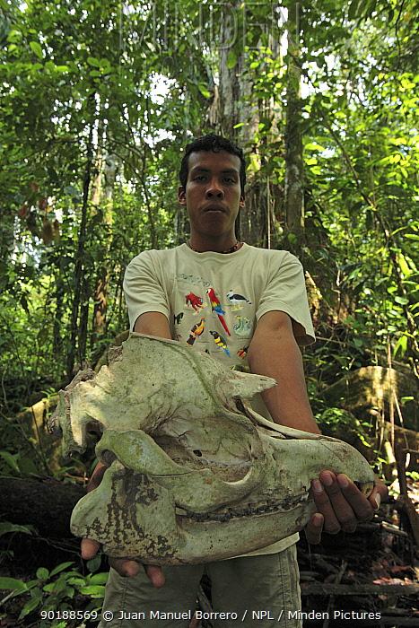 Skull of Tapir (Tapirus sp) held by forest warden, Tambopata National Reserve, Peru 2006  -  Juan Manuel Borrero/ npl