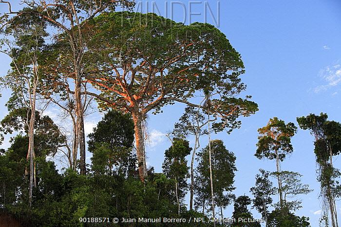 Rainforest emergent trees in Tambopata National Reserve, Peru  -  Juan Manuel Borrero/ npl