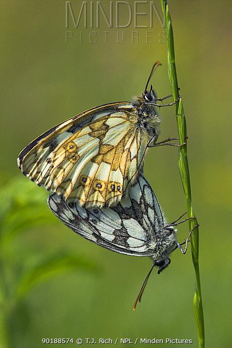 Marbled White butterflies mating (Melanargia galathea) Hampshire, UK  -  T.J. Rich/ npl