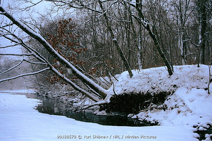 Ussuri forest in winter Ussuriland, Primorsk, Russia  -  Yuri Shibnev/ npl