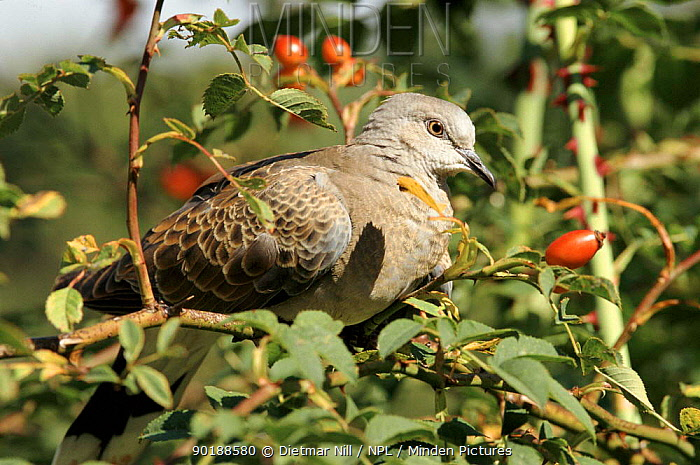 Turtle dove with rose hips, Germany  -  Dietmar Nill/ npl