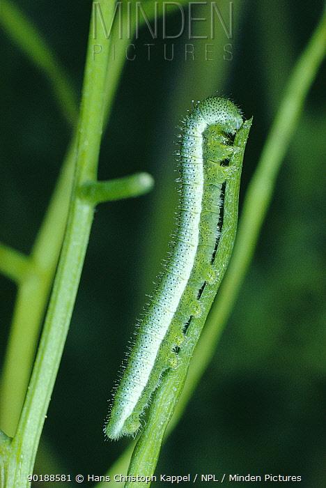 Orange tip butterfly caterpillar (Anthocharis cardamines) Germany  -  Hans Christoph Kappel/ npl