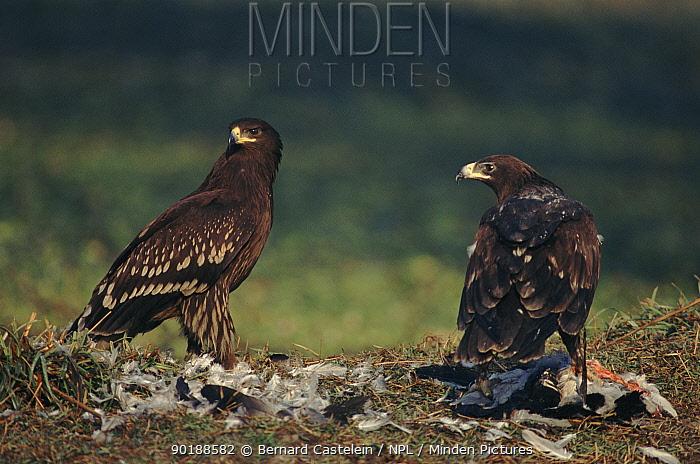Greater spotted eagles (Aquila clanga) with prey, juveniles Keoladeo NP, Ghana, India  -  Bernard Castelein/ npl