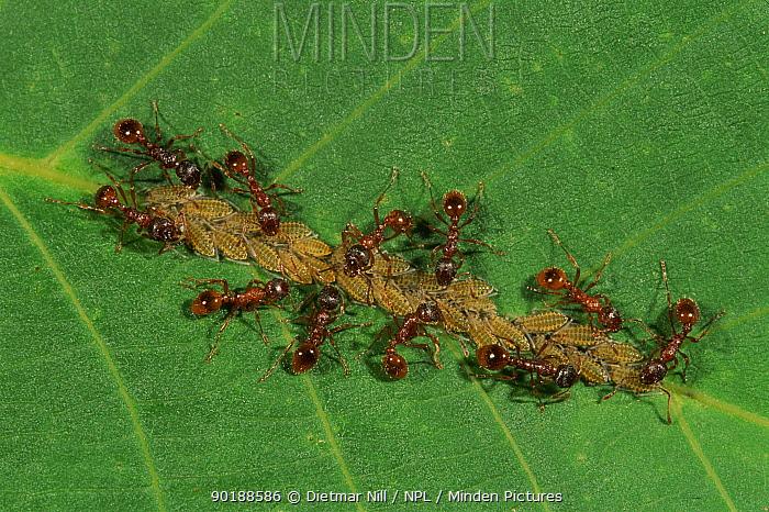 Garden black ants (Lasius niger) tending aphids on leaf Germany  -  Dietmar Nill/ npl