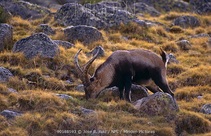Male Spanish ibex (Capra pyrenaica) Sierra Gredos mountains, Avila, Spain  -  Jose B. Ruiz/ npl