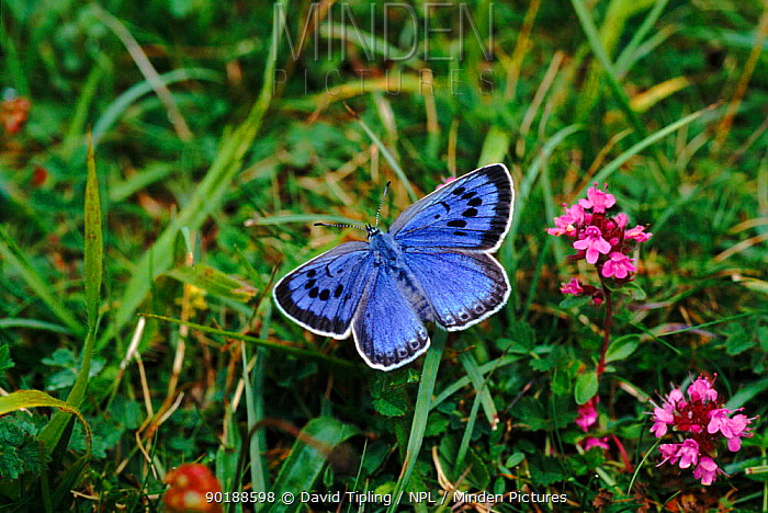 Large blue butterfly (Maculinea arion), female Re-introduction programme Somerset, England, UK, Europe  -  David Tipling/ npl