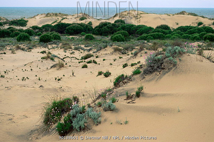 Sand dunes at Cota Donana NP, Spain  -  Dietmar Nill/ npl