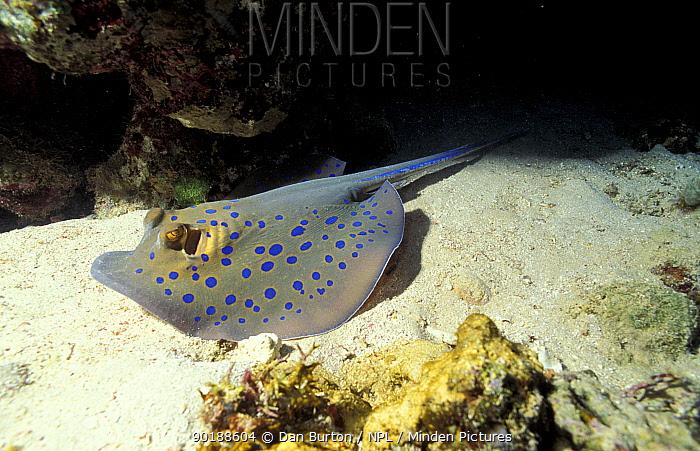 Ribbontail ray on sea bed (Taeniura lymna) Red Sea  -  Dan Burton/ npl