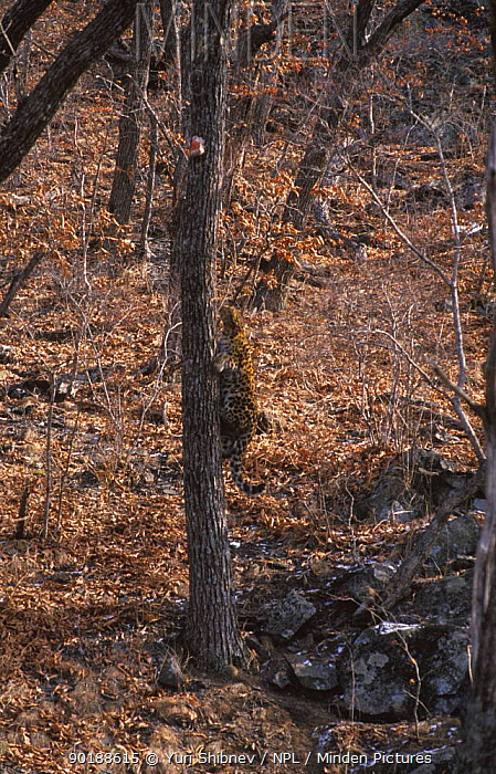 Wild Amur leopard climbing tree (Panthera pardus orientalis) Far East Russia,  -  Yuri Shibnev/ npl
