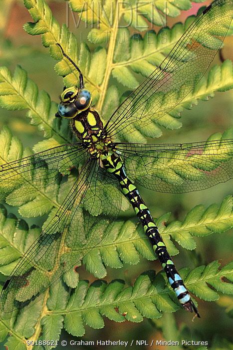 Southern hawker dragonfly male on fern, England, UK  -  Graham Hatherley/ npl