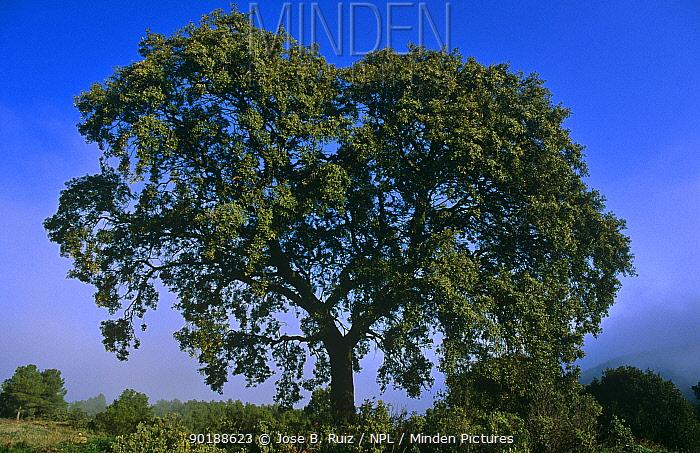 Holm oak tree (Quercus ilex) Alicante, Spain  -  Jose B. Ruiz/ npl