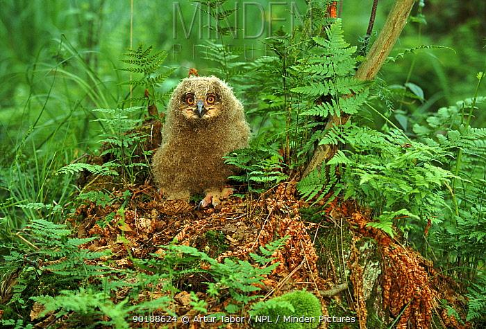 Eagle owl chick, Poland  -  Artur Tabor/ npl