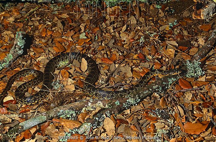 Horseshoe whip snake (Coluber hippocrepis) camouflaged against ground leaf litter, Spain  -  Jose B. Ruiz/ npl