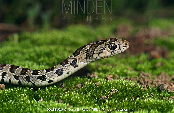 Horseshoe whip snake head profile (Coluber hippocrepis) Spain  -  Jose B. Ruiz/ npl