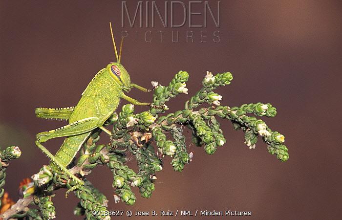 Short horned grasshopper (Acrididae) Alicante, Spain  -  Jose B. Ruiz/ npl