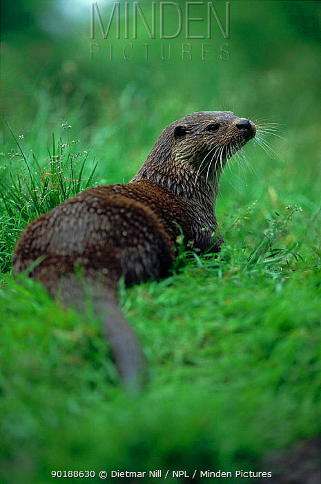 European river otter (Lutra lutra) on bank Germany (C)  -  Dietmar Nill/ npl