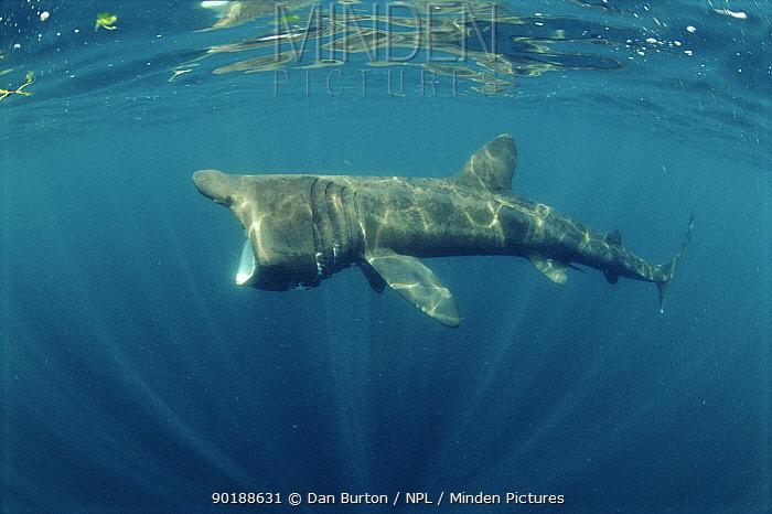 Basking shark feeding (Cetorhinus maximus) off Cornwall UK  -  Dan Burton/ npl