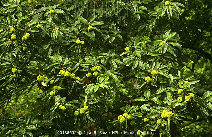 Sweet chestnut tree branches with fruit (Castanea sativa) Asturias, Spain  -  Jose B. Ruiz/ npl