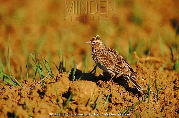Skylark (Alauda arvensis) Germany, Europe  -  Dietmar Nill/ npl