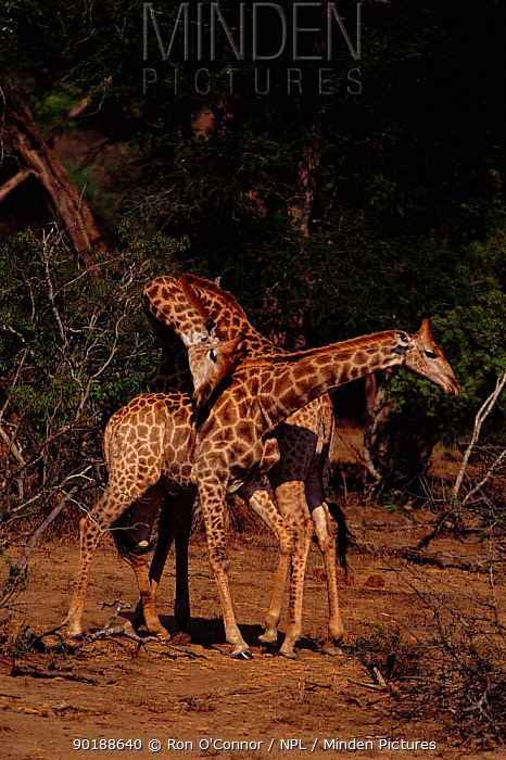 Male Giraffes fighting (Giraffa camelopardalis) Kruger NP, South Africa  -  Ron O'Connor/ npl