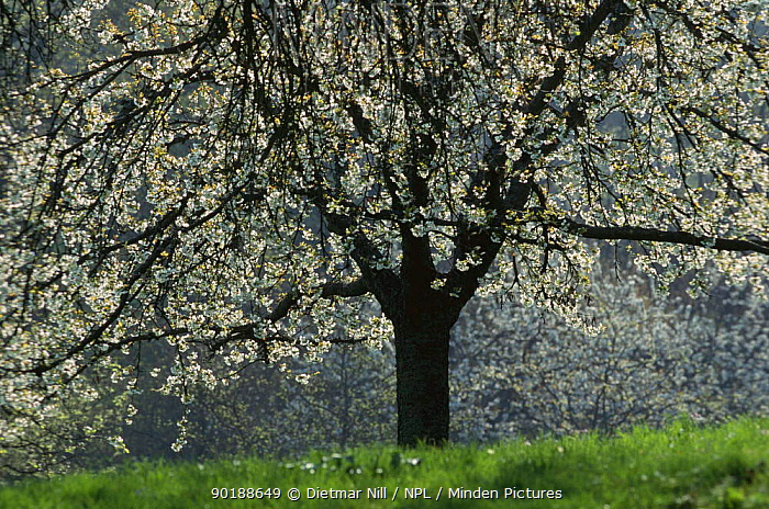 Sweet cherry tree (Prunus avium) in blossom in Spring, Germany  -  Dietmar Nill/ npl
