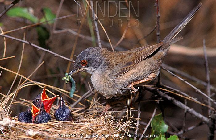 Sardinian warbler feeding chicks at nest (Sylvia melanocephala) Spain  -  Jose B. Ruiz/ npl