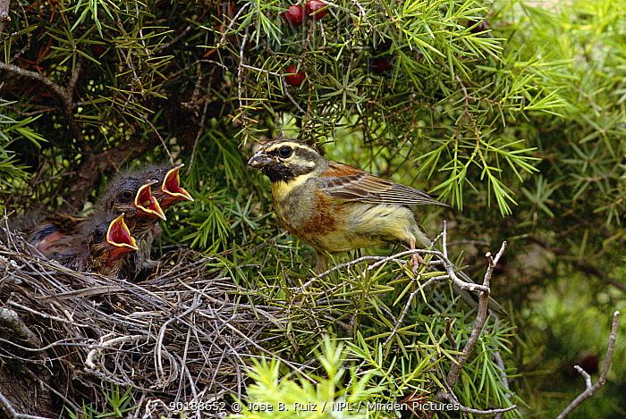 Cirl bunting Male at nest with chicks (Emberiza cirhus) Alicante, Spain  -  Jose B. Ruiz/ npl