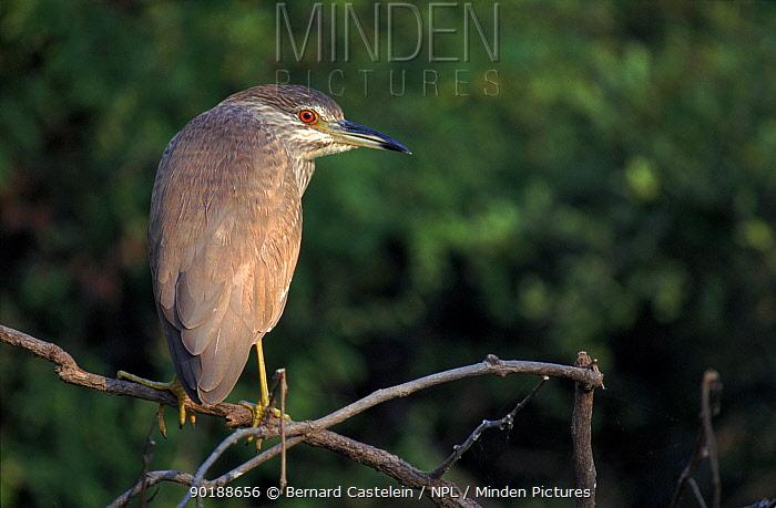 Night heron juvenile (Nycticorax nycticorax) Keoladeo Ghana NP, India, aka Bharatpur  -  Bernard Castelein/ npl