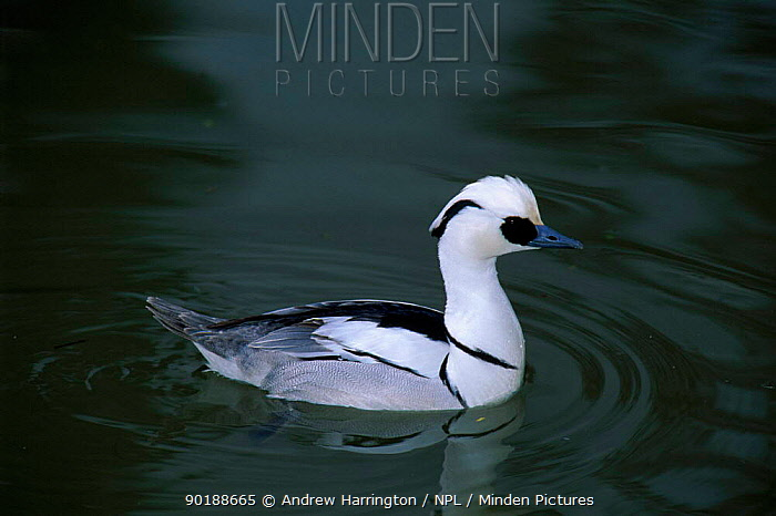 Male Smew on water Slimridge WWT, England UK  -  Andrew Harrington/ npl