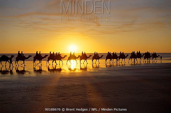 People riding Camels at sunrise, The Kimberleys Western Australia  -  Brent Hedges/ npl