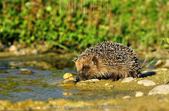 Hedgehog (Erinaceus europaeus) investigating a snail, Germany  -  Dietmar Nill/ npl