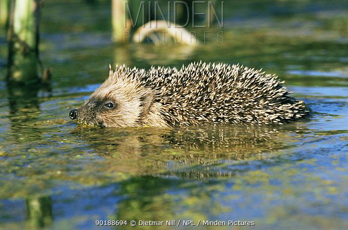 Hedgehog swimming (Erinaceus europaeus) Germany  -  Dietmar Nill/ npl