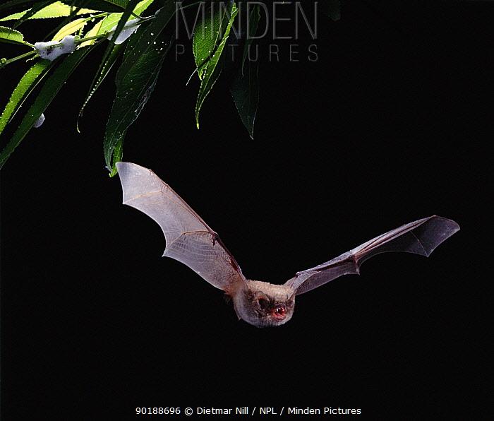 Long fingered bat in flight (Myotis capaccinii) Europe  -  Dietmar Nill/ npl
