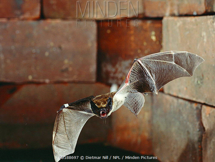 Particolored bat flying from roost (Vespertilio murinus) Germany  -  Dietmar Nill/ npl
