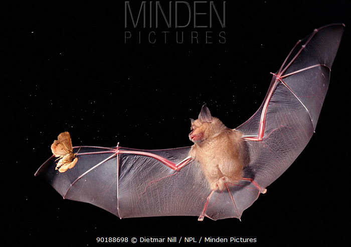 Greater horseshoe bat (Rhinolophus ferrumequinum) in flight hunting a moth at night, Germany  -  Dietmar Nill/ npl