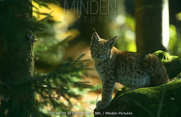 European lynx (Lynx lynx) Bavarian forest NP, Germany  -  Dietmar Nill/ npl