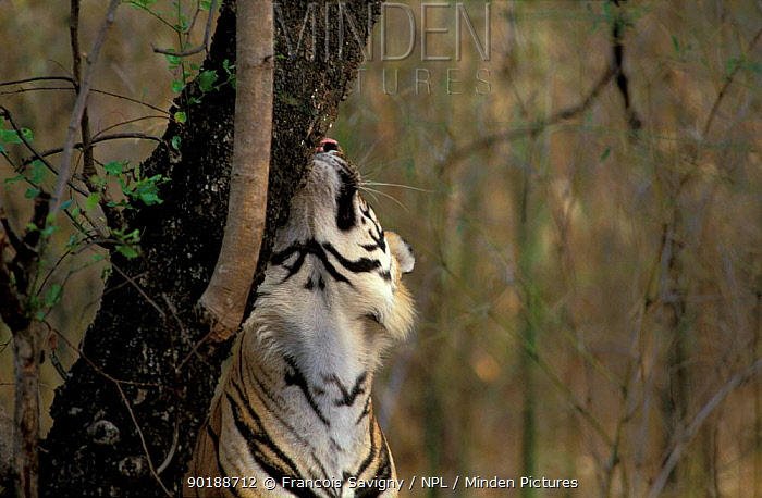 Tiger male rubbing against tree (Panthera tigris) scent marking Bandhavgarh NP, India Madhya  -  Francois Savigny/ npl