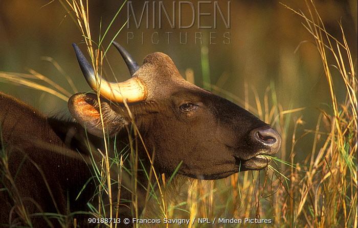 Wild gaur female grazing (Bos gaurus) Bandhavgarh NP, India  -  Francois Savigny/ npl