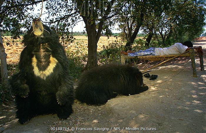 Sloth bears tethered beside sleeping keeper on road (Melursus ursinus) India Madhya  -  Francois Savigny/ npl