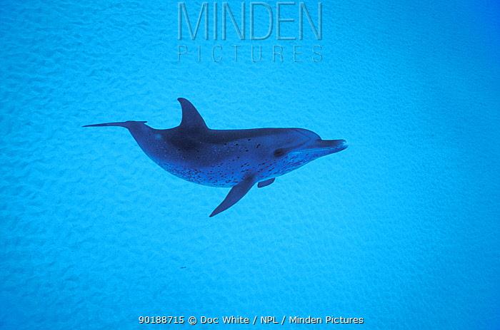 Atlantic spotted dolphin (Stenella frontalis) Bahamas  -  Doc White/ npl