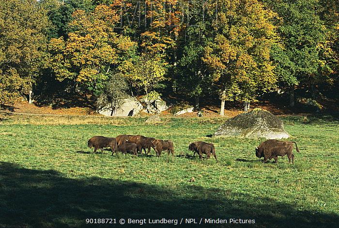 European bison herd (Bison bonasus) Sweden  -  Bengt Lundberg/ npl